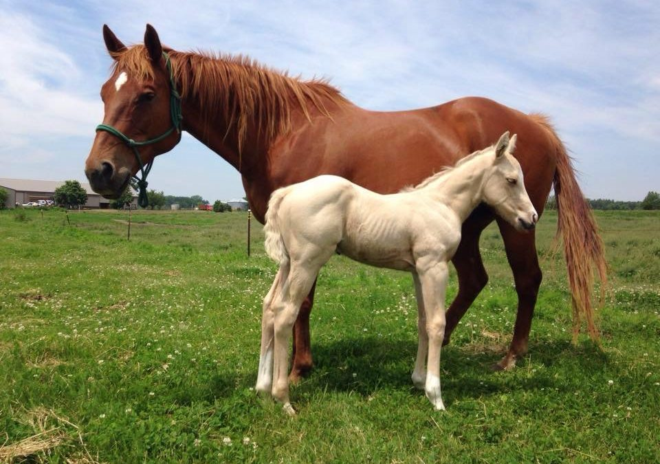 "Welcome weanling GFQ Guys Special Fame ""Zeus"" – Guys Fame x Wrapuprose (Special Effort)"